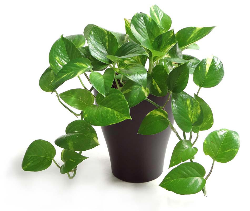 plante de dcoration salle de bain n5 le lierre dor - Plantes Salle De Bain