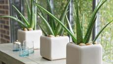 plantes aux vertus innombrables chambre à coucher aloe vera