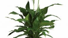plante pour la salle de bain purifiant l'air