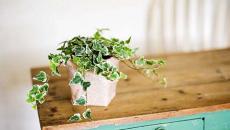 lierre grimpante plantes déco chambre